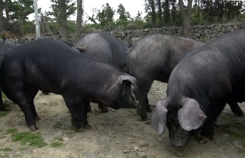 native pigs