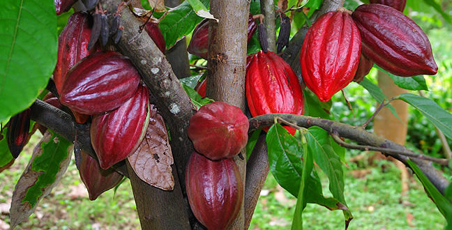 Planning to Retire Soon? Plant CACAO now!